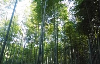 Fushimi Inari Bamboo